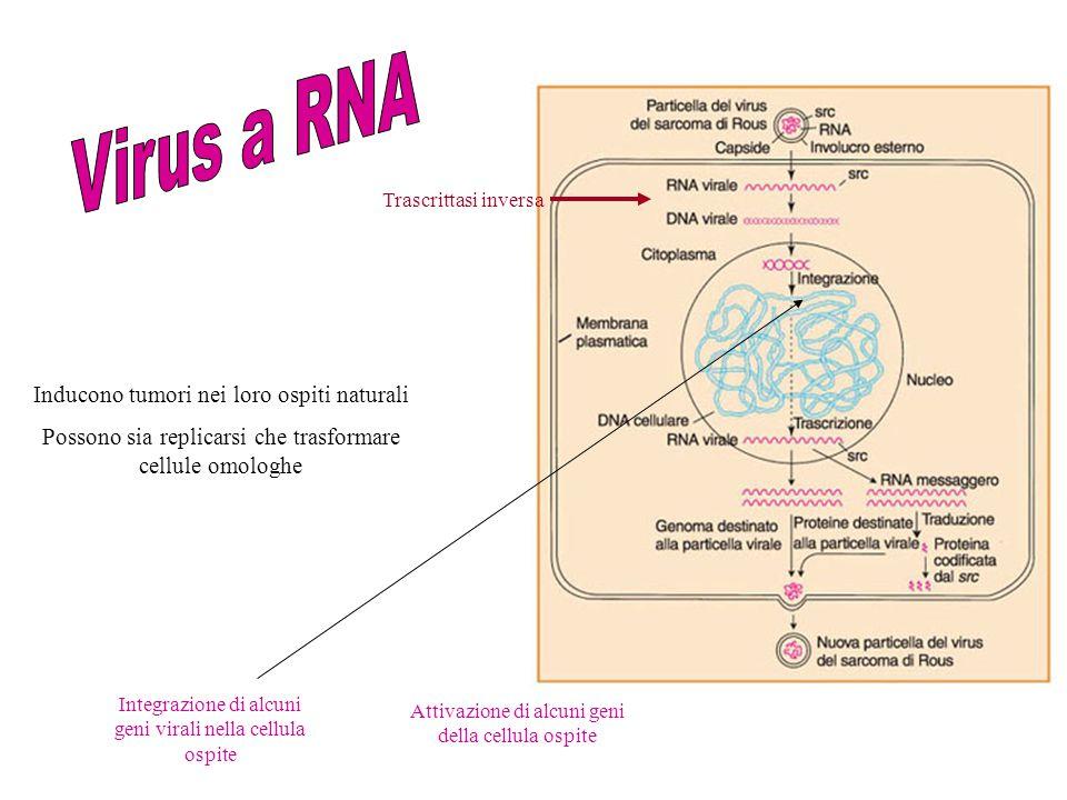 Inducono tumori nei loro ospiti naturali Possono sia replicarsi che trasformare cellule omologhe Integrazione di alcuni geni virali nella cellula ospi