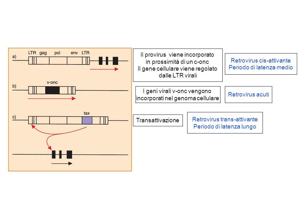 Retrovirus cis-attivante Periodo di latenza medio Retrovirus acuti Il provirus viene incorporato in prossimità di un c-onc Il gene cellulare viene reg