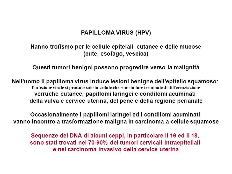PAPILLOMA VIRUS (HPV) Hanno trofismo per le cellule epitelali cutanee e delle mucose (cute, esofago, vescica) Questi tumori benigni possono progredire