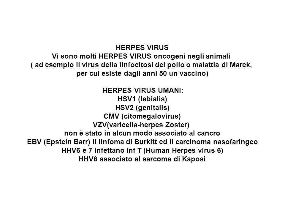HERPES VIRUS Vi sono molti HERPES VIRUS oncogeni negli animali ( ad esempio il virus della linfocitosi del pollo o malattia di Marek, per cui esiste d