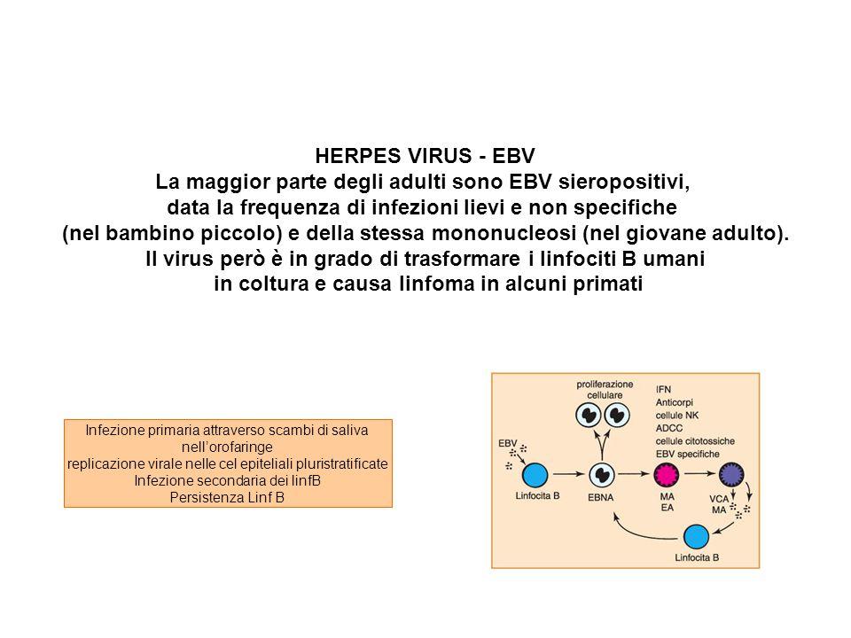 HERPES VIRUS - EBV La maggior parte degli adulti sono EBV sieropositivi, data la frequenza di infezioni lievi e non specifiche (nel bambino piccolo) e