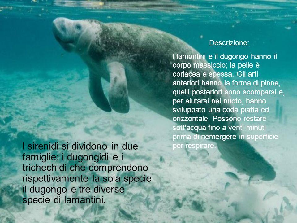 I sirenidi si dividono in due famiglie: i dugongidi e i trichechidi che comprendono rispettivamente la sola specie il dugongo e tre diverse specie di lamantini.