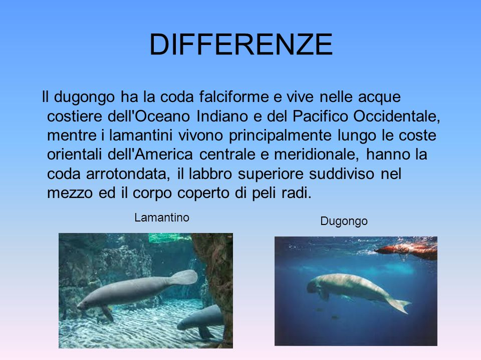 DIFFERENZE ll dugongo ha la coda falciforme e vive nelle acque costiere dell'Oceano Indiano e del Pacifico Occidentale, mentre i lamantini vivono prin