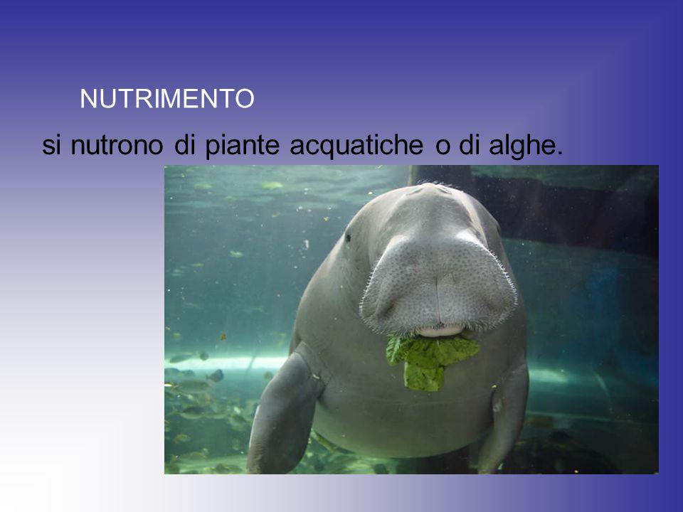 si nutrono di piante acquatiche o di alghe. NUTRIMENTO
