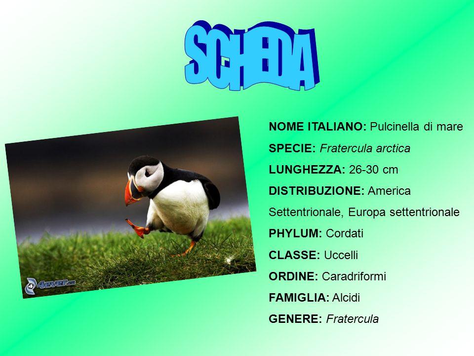 NOME ITALIANO: Pulcinella di mare SPECIE: Fratercula arctica LUNGHEZZA: 26-30 cm DISTRIBUZIONE: America Settentrionale, Europa settentrionale PHYLUM: Cordati CLASSE: Uccelli ORDINE: Caradriformi FAMIGLIA: Alcidi GENERE: Fratercula