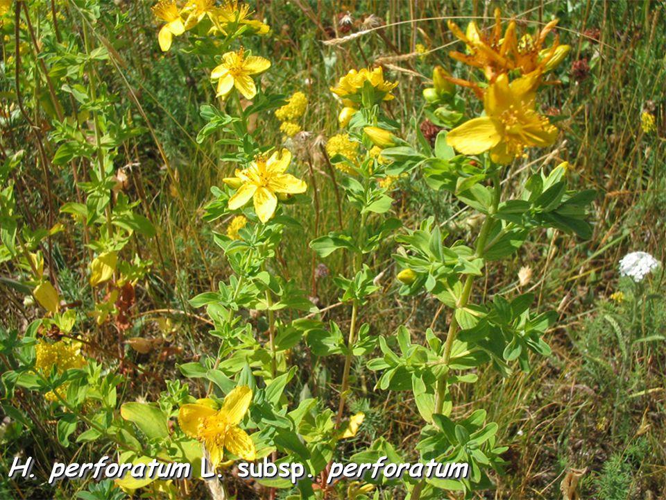 H. perforatum L. subsp. perforatum