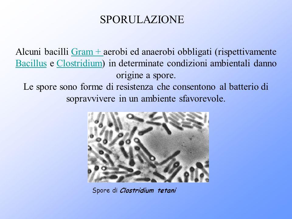 Alcuni bacilli Gram + aerobi ed anaerobi obbligati (rispettivamente Bacillus e Clostridium) in determinate condizioni ambientali danno origine a spore