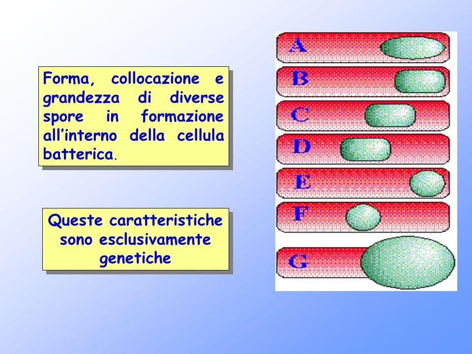 Forma, collocazione e grandezza di diverse spore in formazione all'interno della cellula batterica. Queste caratteristiche sono esclusivamente genetic