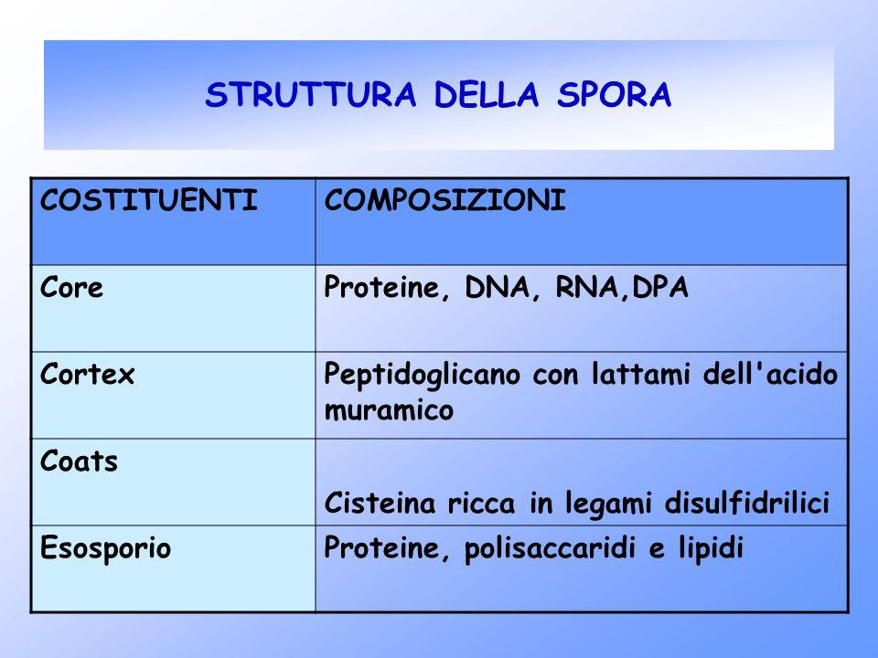 STRUTTURA DELLA SPORA COSTITUENTICOMPOSIZIONI CoreProteine, DNA, RNA,DPA CortexPeptidoglicano con lattami dell'acido muramico Coats Cisteina ricca in