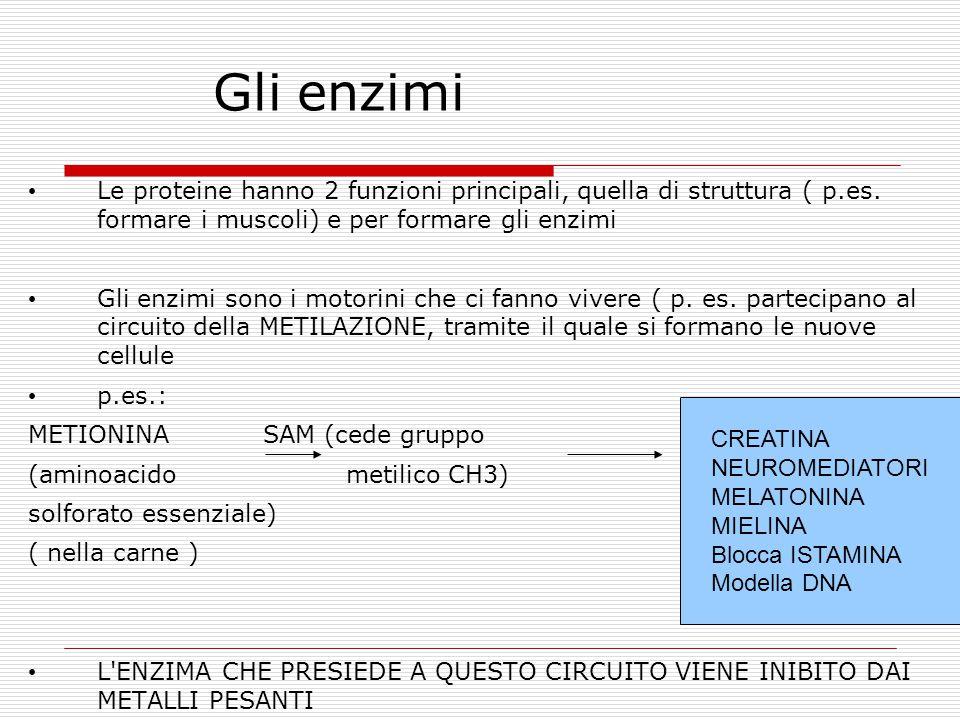 Gli enzimi Le proteine hanno 2 funzioni principali, quella di struttura ( p.es.