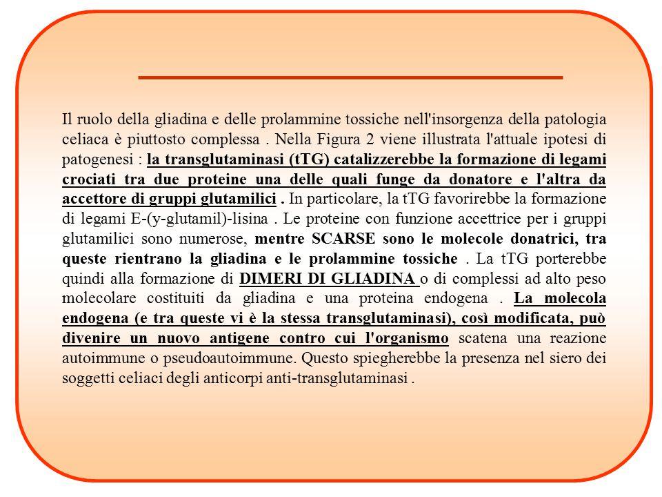 Il ruolo della gliadina e delle prolammine tossiche nell'insorgenza della patologia celiaca è piuttosto complessa. Nella Figura 2 viene illustrata l'a