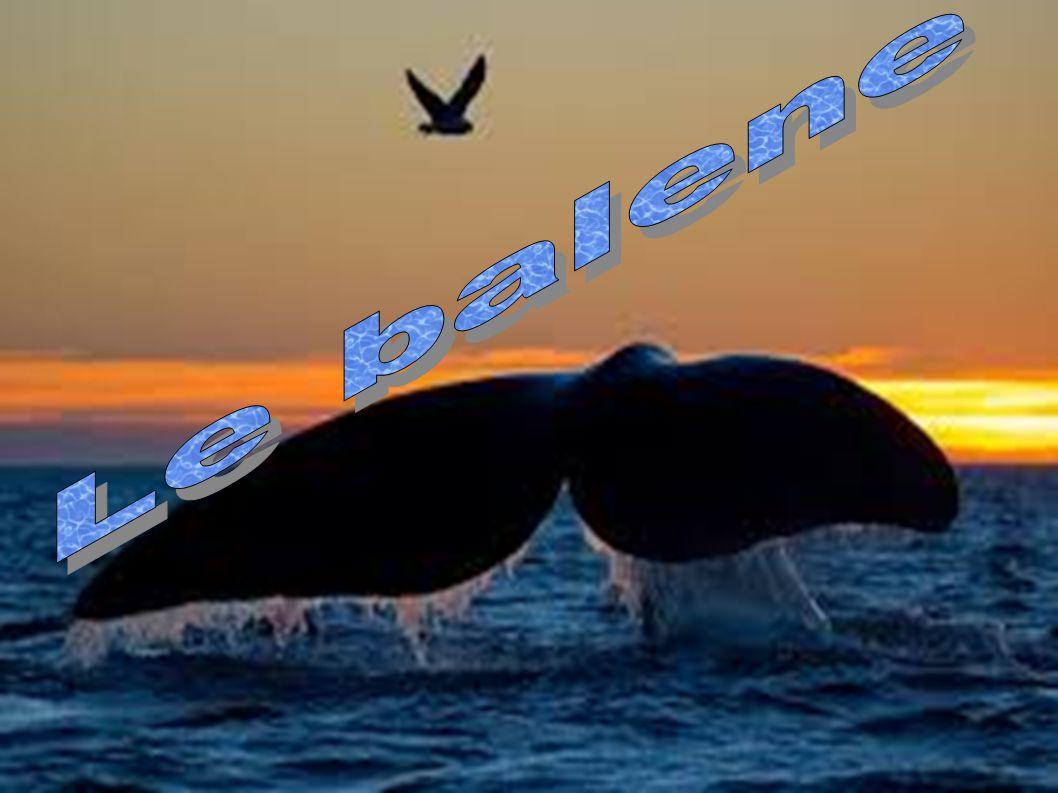 le balene sono respiratrici coscienti :decidono quando respirare.