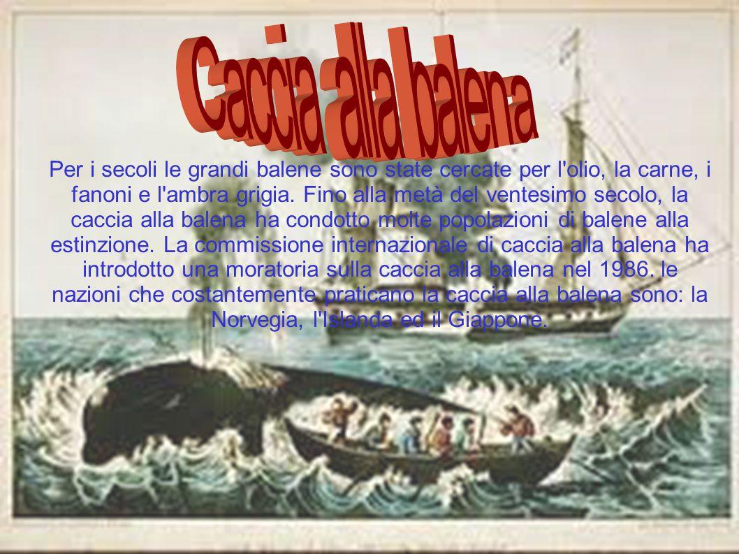 Per i secoli le grandi balene sono state cercate per l'olio, la carne, i fanoni e l'ambra grigia. Fino alla metà del ventesimo secolo, la caccia alla
