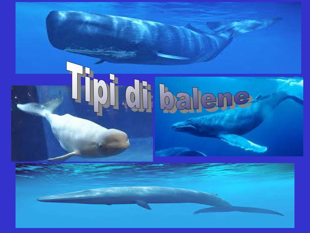 Le migrazioni dei Cetacei sono note sin dai tempi antichi e l'abitudine delle balene di tornare in zone abituali era già conosciuta dai cacciatori., le balene, le balenottere e i capodogli fanno spostamenti lunghissimi.nei periodi più caldi, per sfruttare le zone a maggior disponibilità di plancton, questi giganti seguirono il ritirarsi dei ghiacci compiendo spostamenti che ancor oggi avvengono annualmente.