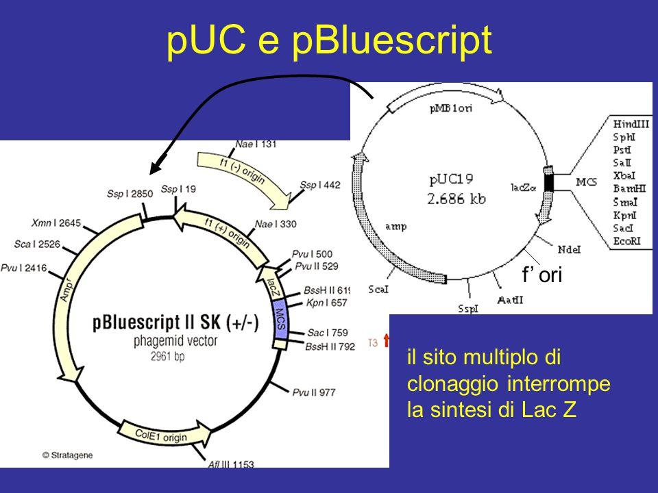 pUC e pBluescript f' ori il sito multiplo di clonaggio interrompe la sintesi di Lac Z