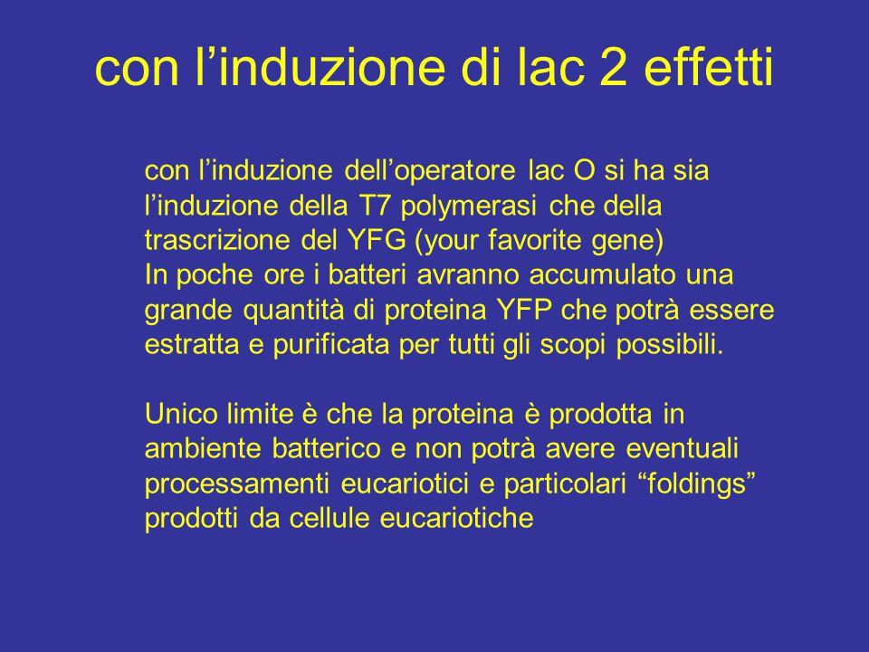 con l'induzione di lac 2 effetti con l'induzione dell'operatore lac O si ha sia l'induzione della T7 polymerasi che della trascrizione del YFG (your favorite gene) In poche ore i batteri avranno accumulato una grande quantità di proteina YFP che potrà essere estratta e purificata per tutti gli scopi possibili.