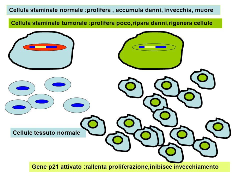 Cellula staminale normale :prolifera, accumula danni, invecchia, muore Cellula staminale tumorale :prolifera poco,ripara danni,rigenera cellule Gene p21 attivato :rallenta proliferazione,inibisce invecchiamento Cellule tessuto normale
