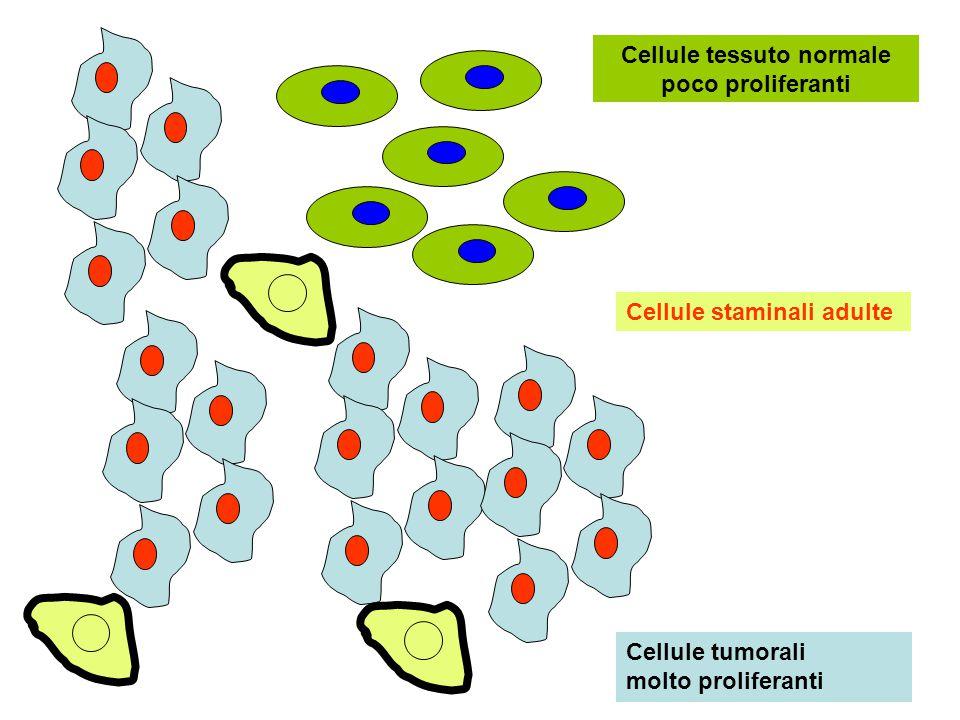 Cellule tessuto normale poco proliferanti Cellule tumorali molto proliferanti Cellule staminali adulte