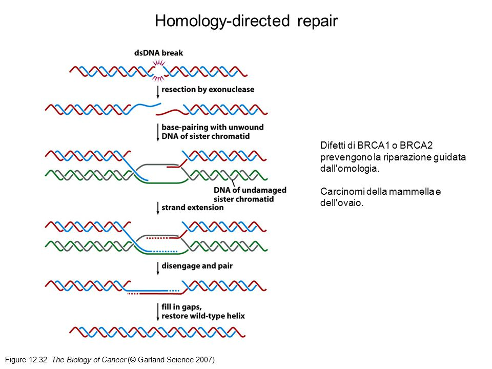 Figure 12.32 The Biology of Cancer (© Garland Science 2007) Homology-directed repair Difetti di BRCA1 o BRCA2 prevengono la riparazione guidata dall'o