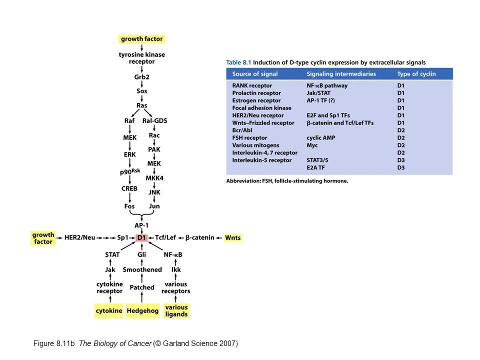 Figure 12.32 The Biology of Cancer (© Garland Science 2007) Homology-directed repair Difetti di BRCA1 o BRCA2 prevengono la riparazione guidata dall omologia.