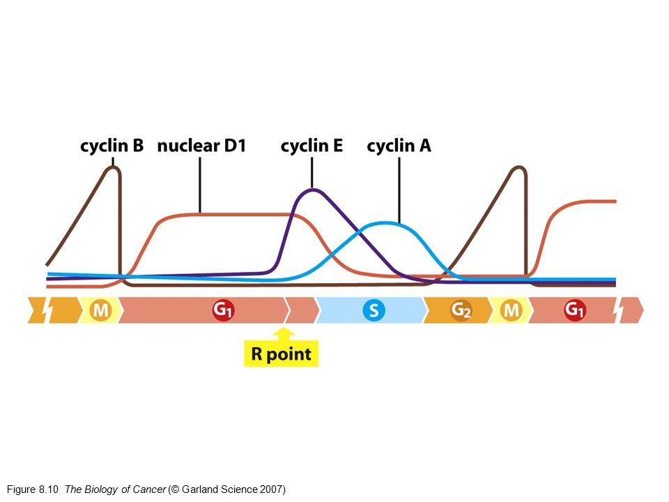 G1G1 S M G2G2 Il ciclo cellulare ciclina E cdk2 ciclina A cdk2 ciclina D cdk4 o cdk6 ciclina A cdk1 ciclina B cdk1 Regolato dai fattori di crescitaProgramma cellulare autonomo