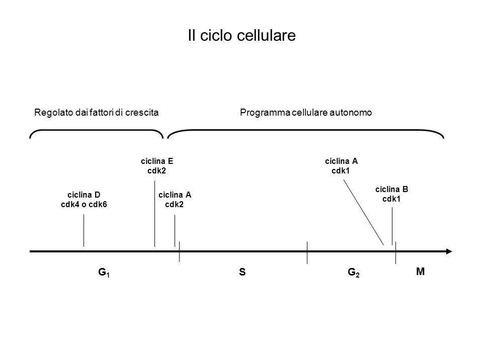 G1G1 ciclina E cdk2 ciclina D cdk4 o cdk6 pRb E2F P La fase G 1 Regolato dai fattori di crescita DNA pol  DNA pol  PCNA RPA MCM2-7 etc…