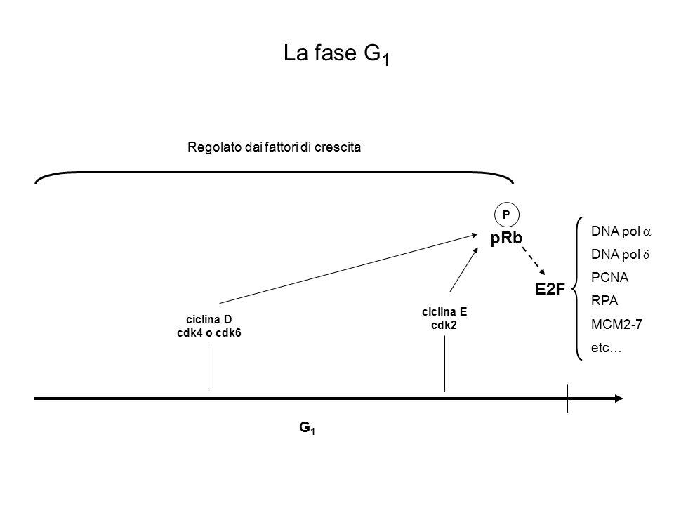 G1G1 S M G2G2 Il ciclo cellulare ciclina E cdk2 ciclina A cdk2 ciclina D cdk4 o cdk6 ciclina A cdk1 ciclina B cdk1 pRb P E2F P degradazione ciclina A degradazione ciclina B