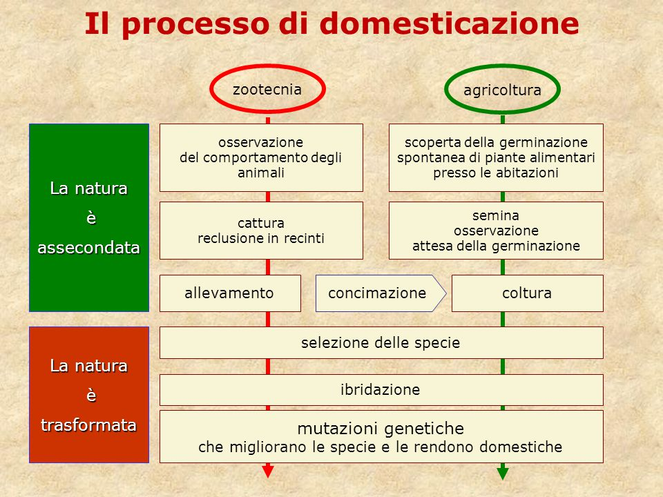 zootecnia Il processo di domesticazione osservazione del comportamento degli animali cattura reclusione in recinti scoperta della germinazione spontan
