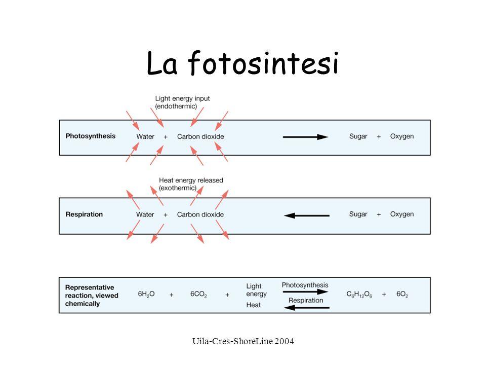 Uila-Cres-ShoreLine 2004 La fotosintesi