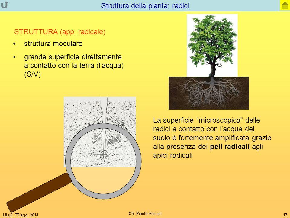 LiLu2, TT/agg. 2014 Cfr. Piante-Animali 17 Struttura della pianta: radici struttura modulare grande superficie direttamente a contatto con la terra (l