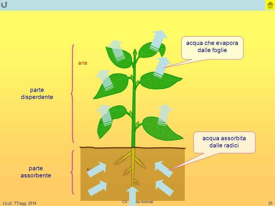 LiLu2, TT/agg. 2014 Cfr. Piante-Animali 20 suolo aria parte disperdente parte assorbente acqua che evapora dalle foglie acqua assorbita dalle radici