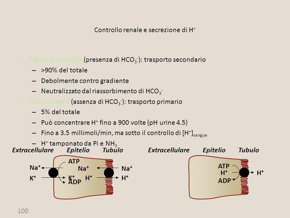 100 Controllo renale e secrezione di H + Tubulo prossimale (presenza di HCO 3 - ): trasporto secondario – >90% del totale – Debolmente contro gradient