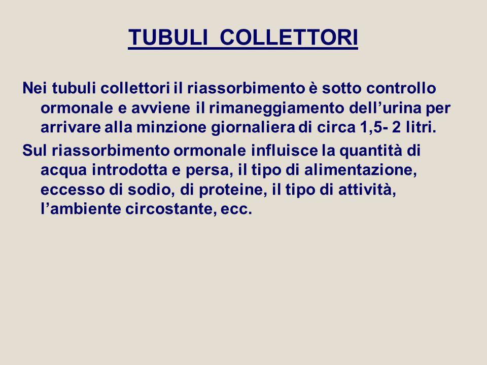 TUBULI COLLETTORI Nei tubuli collettori il riassorbimento è sotto controllo ormonale e avviene il rimaneggiamento dell'urina per arrivare alla minzion
