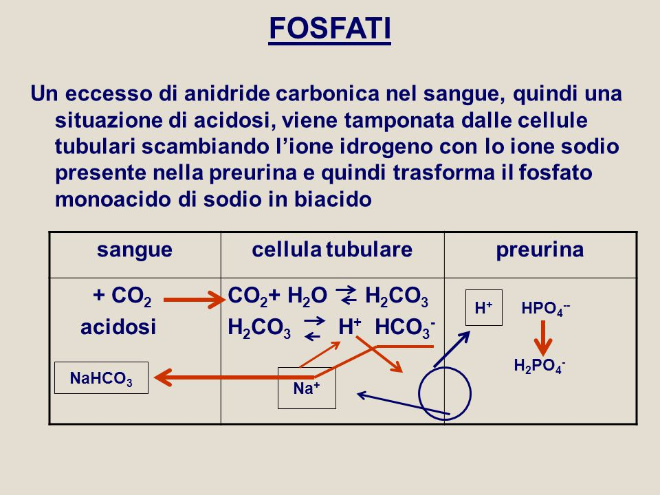 FOSFATI Un eccesso di anidride carbonica nel sangue, quindi una situazione di acidosi, viene tamponata dalle cellule tubulari scambiando l'ione idroge