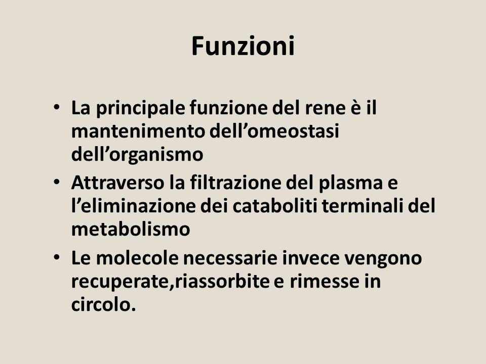 Funzioni La principale funzione del rene è il mantenimento dell'omeostasi dell'organismo Attraverso la filtrazione del plasma e l'eliminazione dei cat
