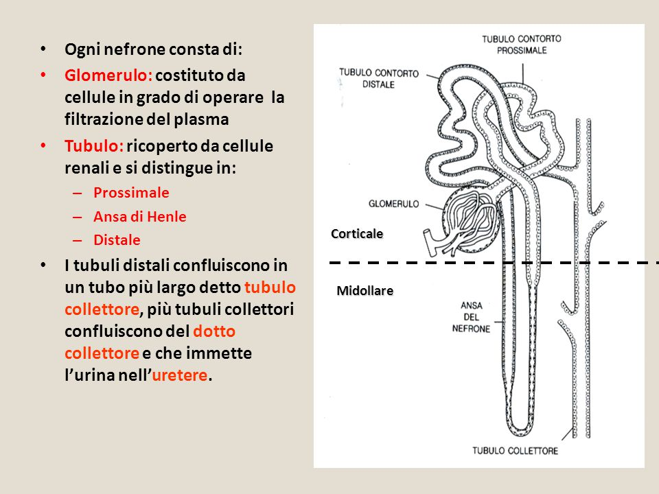 Ogni nefrone consta di: Glomerulo: costituto da cellule in grado di operare la filtrazione del plasma Tubulo: ricoperto da cellule renali e si disting