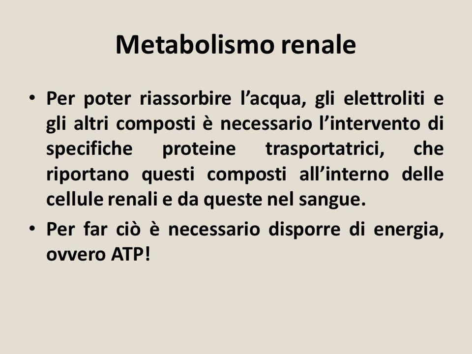Metabolismo renale Per poter riassorbire l'acqua, gli elettroliti e gli altri composti è necessario l'intervento di specifiche proteine trasportatrici