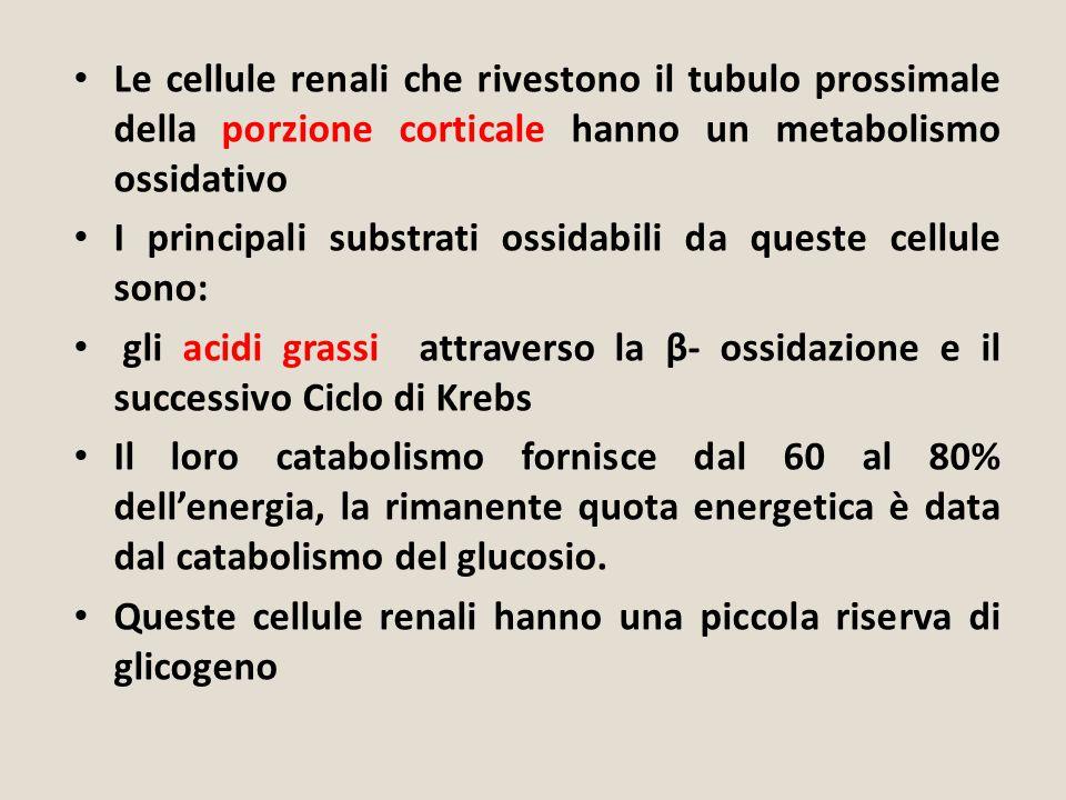 Le cellule renali che rivestono il tubulo prossimale della porzione corticale hanno un metabolismo ossidativo I principali substrati ossidabili da que