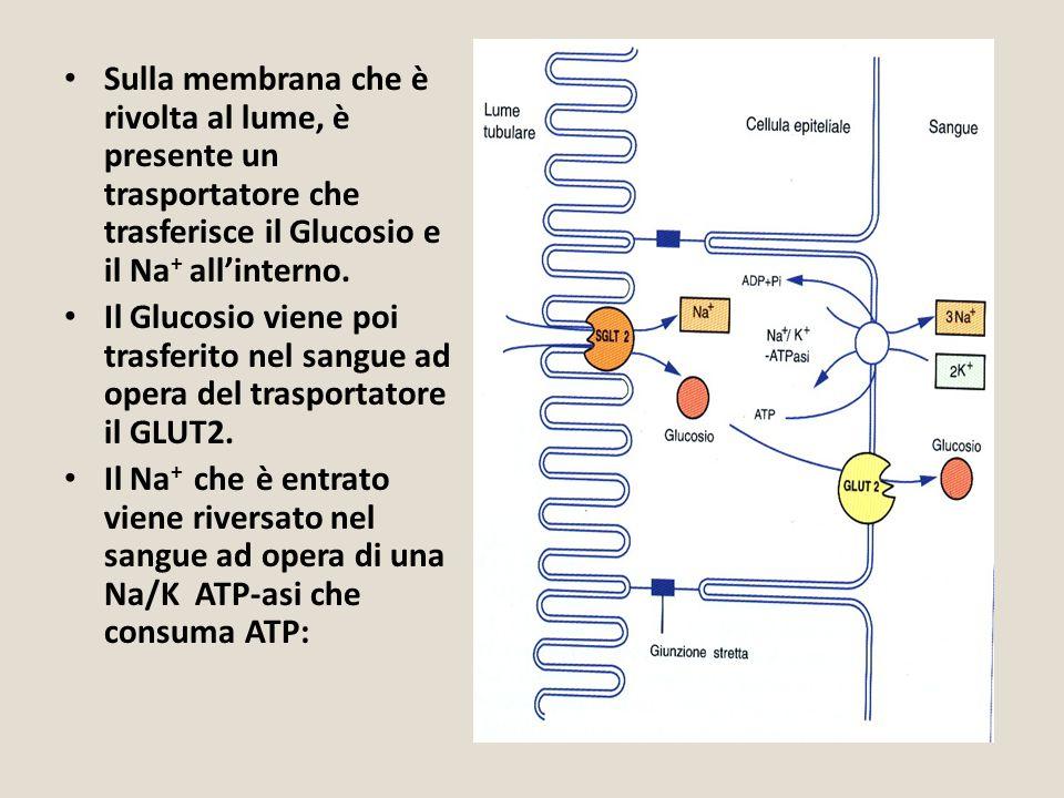 Sulla membrana che è rivolta al lume, è presente un trasportatore che trasferisce il Glucosio e il Na + all'interno. Il Glucosio viene poi trasferito