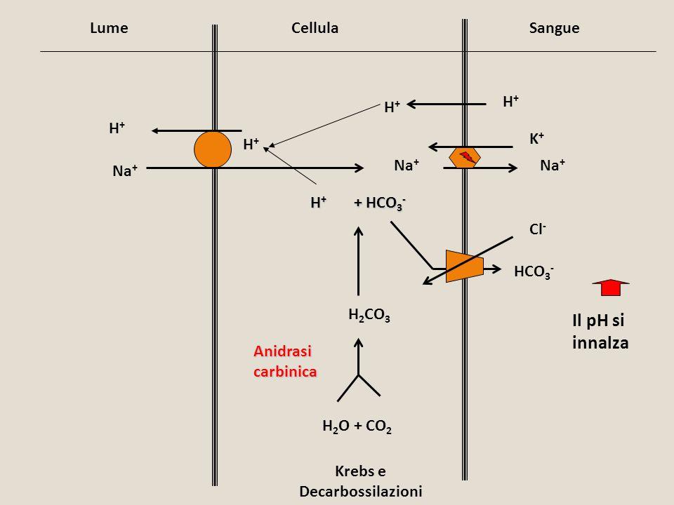 LumeCellulaSangue H+H+ H+H+ H 2 O + CO 2 H + + HCO 3 - H 2 CO 3 H+H+ H+H+ Na + K+K+ HCO 3 - Cl - Krebs e Decarbossilazioni Il pH si innalza Anidrasi c