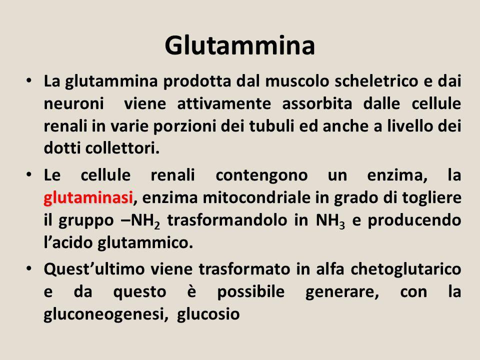 Glutammina La glutammina prodotta dal muscolo scheletrico e dai neuroni viene attivamente assorbita dalle cellule renali in varie porzioni dei tubuli