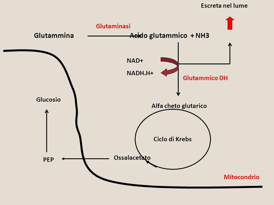 Glutammina Acido glutammico + NH3 Glutaminasi Alfa cheto glutarico NAD+ NADH.H+ Ciclo di Krebs Ossalacetato PEP Glucosio Glutammico DH Mitocondrio Esc