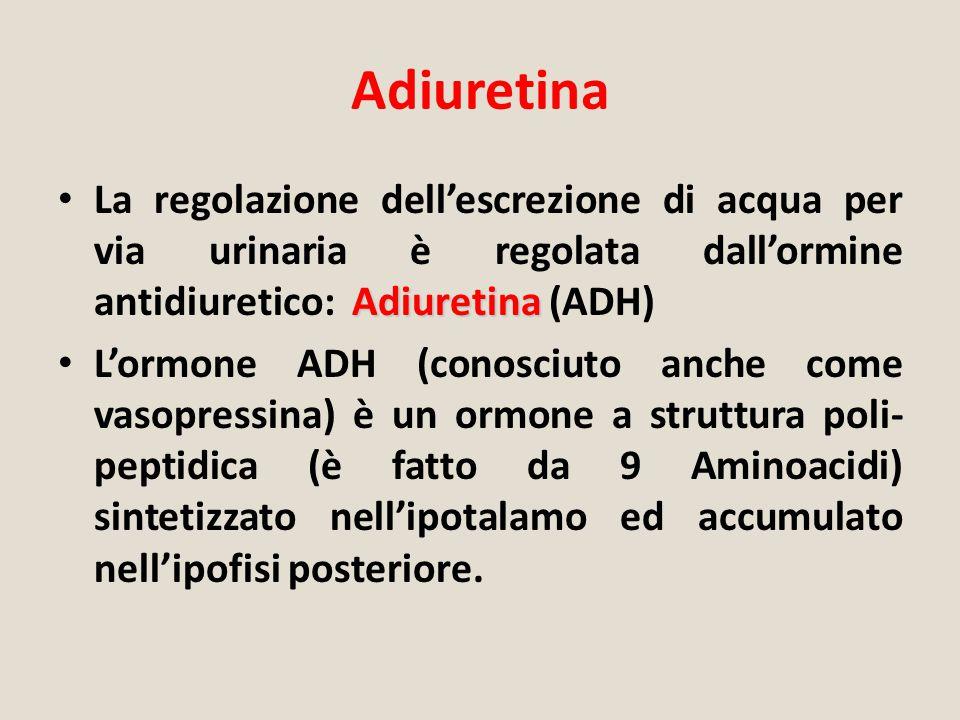 Adiuretina Adiuretina La regolazione dell'escrezione di acqua per via urinaria è regolata dall'ormine antidiuretico: Adiuretina (ADH) L'ormone ADH (co
