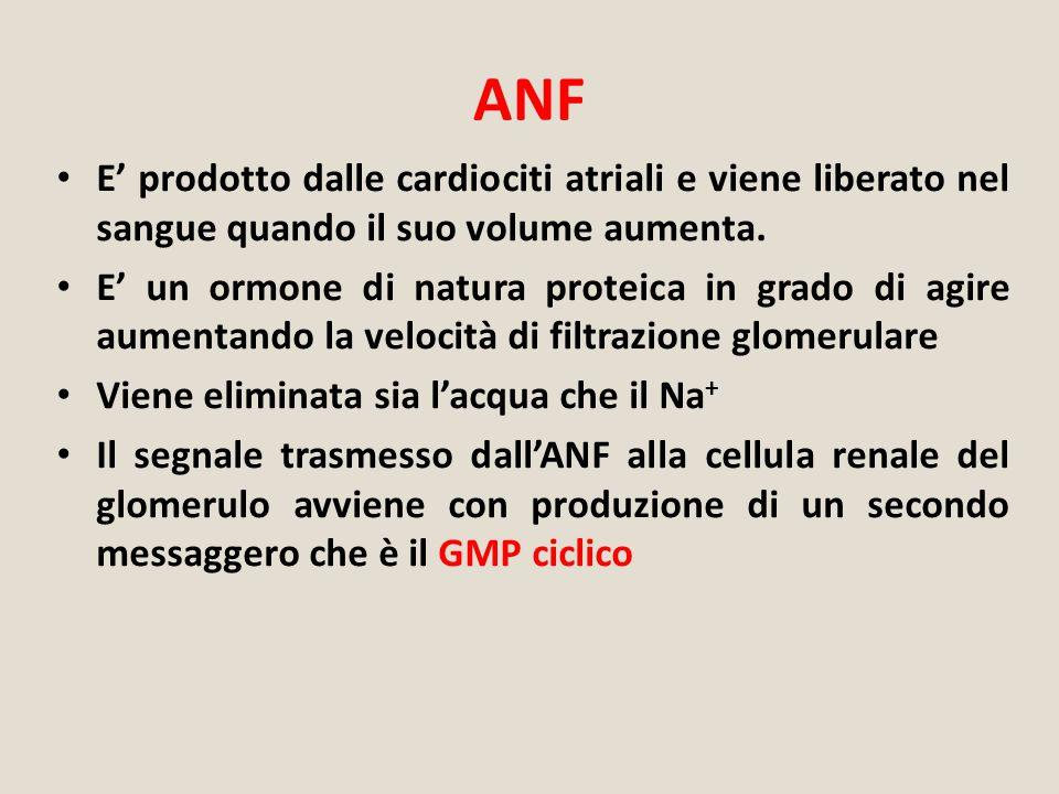 ANF E' prodotto dalle cardiociti atriali e viene liberato nel sangue quando il suo volume aumenta. E' un ormone di natura proteica in grado di agire a