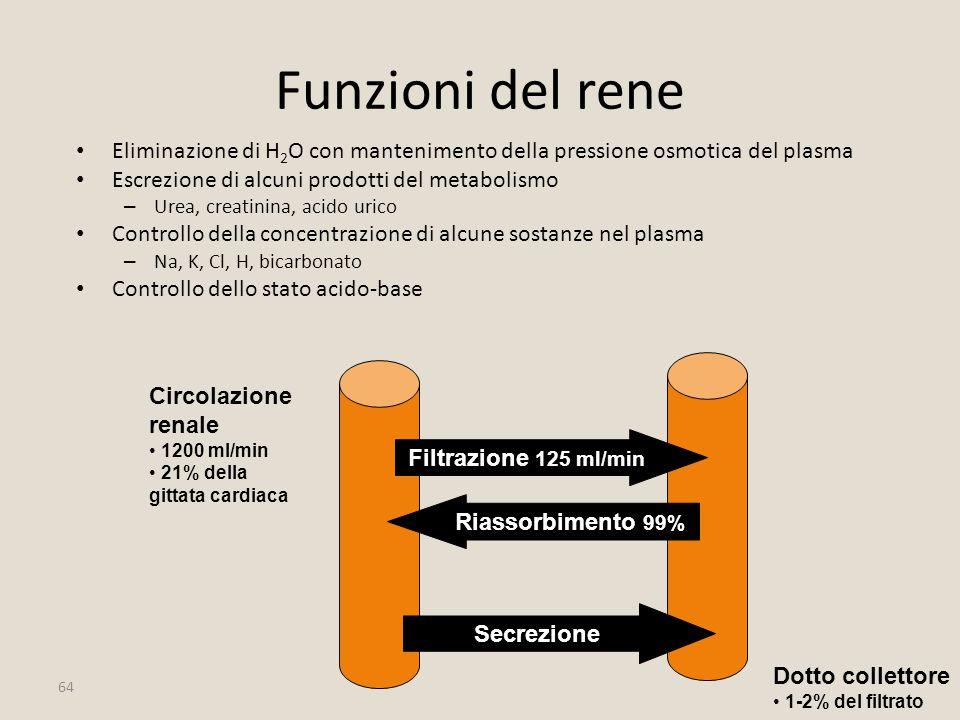 64 Circolazione renale 1200 ml/min 21% della gittata cardiaca Dotto collettore 1-2% del filtrato Filtrazione 125 ml/min Riassorbimento 99% Secrezione