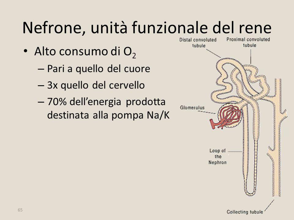 65 Nefrone, unità funzionale del rene Alto consumo di O 2 – Pari a quello del cuore – 3x quello del cervello – 70% dell'energia prodotta destinata all