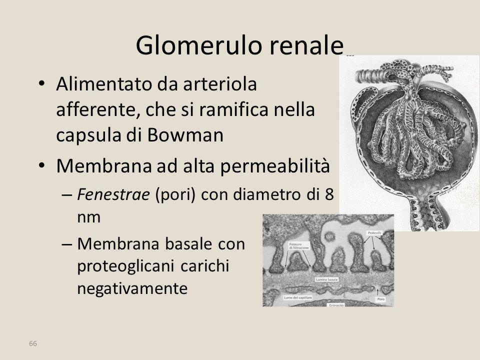 66 Glomerulo renale Alimentato da arteriola afferente, che si ramifica nella capsula di Bowman Membrana ad alta permeabilità – Fenestrae (pori) con di