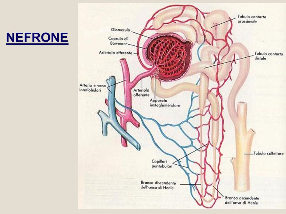 Angiotensinogeno Angiotensina IIRenina Glomerulo Corteccia surrenale Aldosterone Ansa di Henle Diminuzione volume Sangue