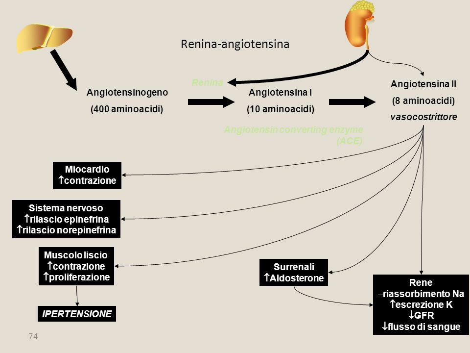 74 Renina-angiotensina Angiotensinogeno (400 aminoacidi) Angiotensina I (10 aminoacidi) Renina Angiotensina II (8 aminoacidi) vasocostrittore Angioten