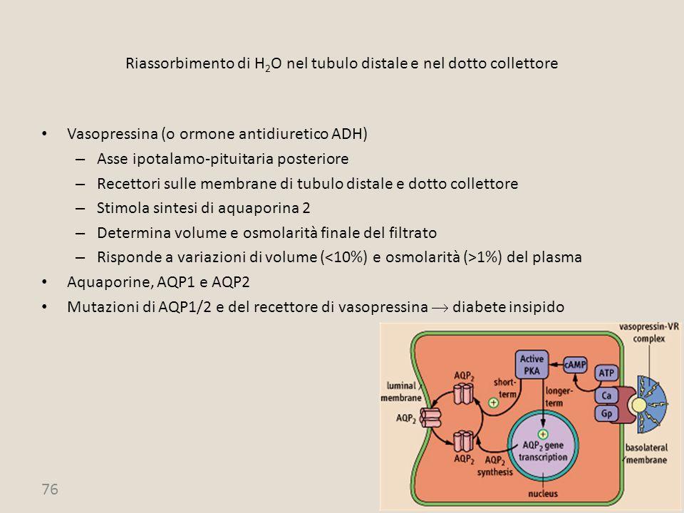 76 Riassorbimento di H 2 O nel tubulo distale e nel dotto collettore Vasopressina (o ormone antidiuretico ADH) – Asse ipotalamo-pituitaria posteriore